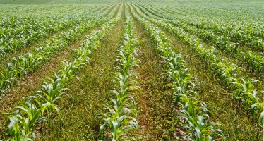 Il buon uso del digestato sul mais
