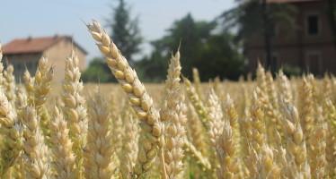 Grano tenero, suggerimenti per la semina