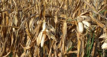 Cosa significa non poter usare il mais OGM in Italia