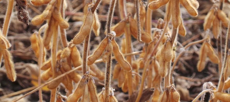 Bisogna aumentare l'efficienza della soia