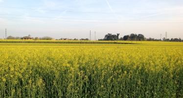 Come coltivare il colza: tutti gli accorgimenti tecnici
