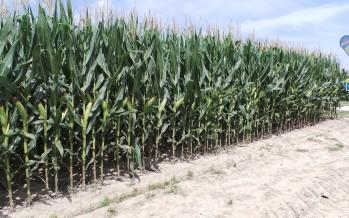 La buona coltivazione del mais: tecniche e consigli