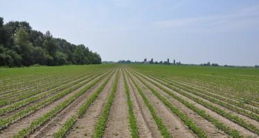 Soia Italia: nasce un'associazione per tornare a coltivarla bene