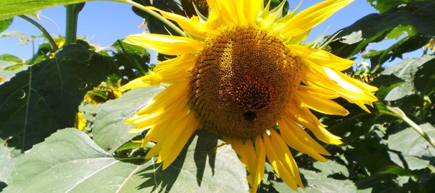 Il girasole, una pianta da rinnovo: consigli per la coltivazione