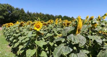 Le migliori varietà di girasole consigliate per le prossime semine
