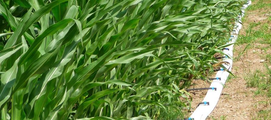 Mais: con la subirrigazione aumentano i quintali e diminuiscono le emissioni