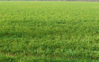 Coltivare l'erba medica, un prodotto dai numerosi vantaggi