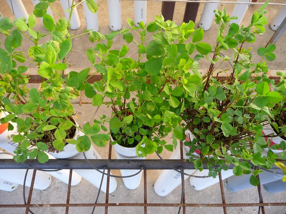 Le varietà di erba medica si differenziano soprattutto per la loro diversa adattabilità agli areali di coltivazione.