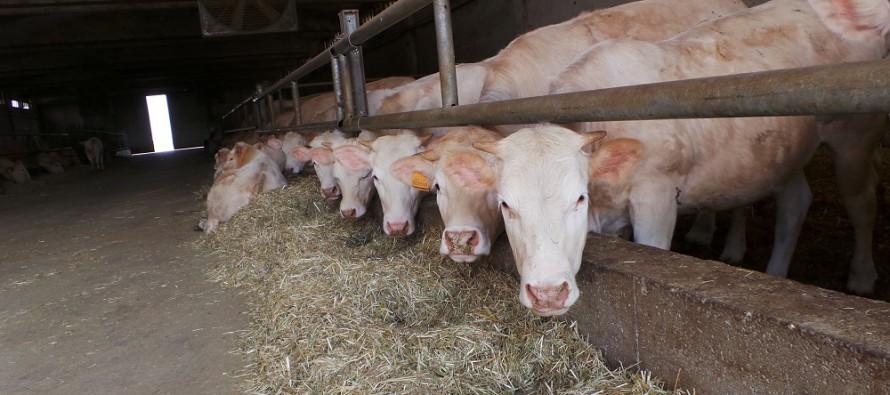 La Pac sui bovini da carne: due esempi per vedere cosa succede
