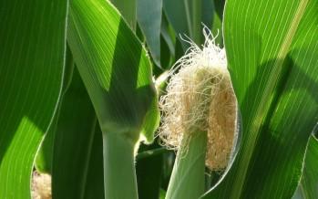 Dopo il 9 giugno, raccolto il loietto si può coltivare tutto mais