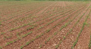 Ecco la soia in primo raccolto nel Pag di Kverneland all'azienda Rossi