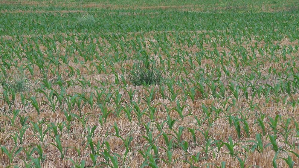 Sono ben poche le infestanti ben sviluppate nel campo di mais seminato a strip-till.