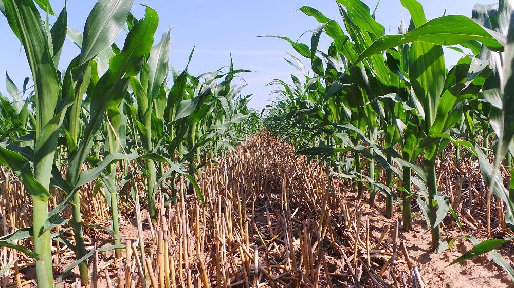 Anche il mais seminato con il Kultistrip mostra una fantastico rigoglio vegetativo e un'eccezionale regolarità nell'emergenza, con un'omogeneità di sviluppo di tutte le piante.