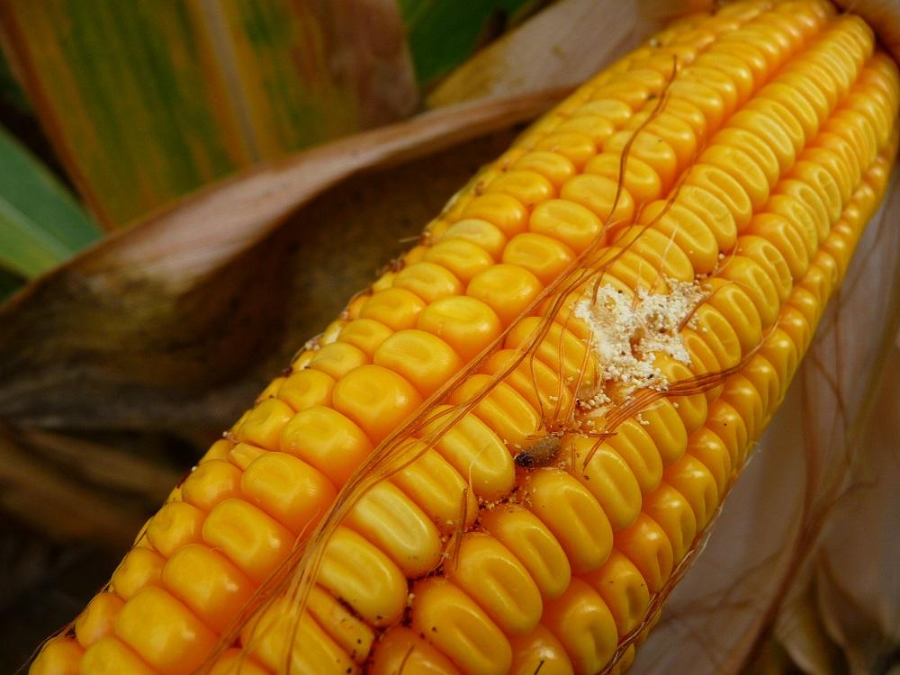 Attacco della larva di piralide sulla spiga di mais con le caratteristiche gallerie che sono la via di accesso per lo sviluppo delle micotossine.