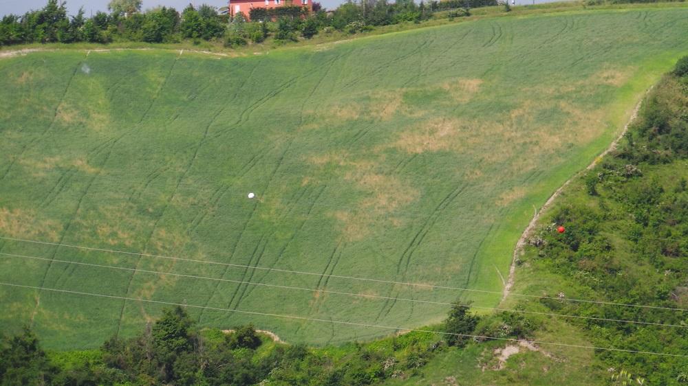 Ecco cosa succede quando si lavora senza l'ausilio del satellite. Come si vede dalle linee tracciate tra le piante di grano, l'agricoltore non è riuscito ad andare diritto.