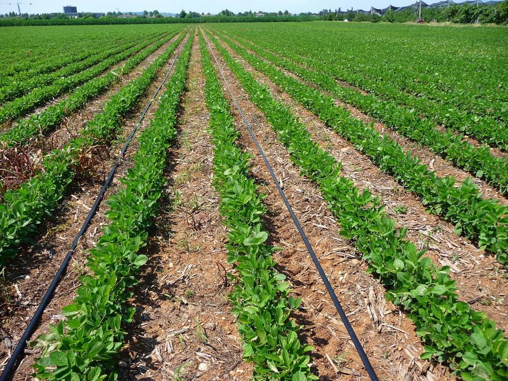 Sistema a goccia con ala gocciolante posata in supeficie a file alternate su soia seminata con il sistema a strip-till.