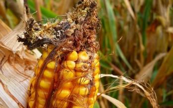 Istruzioni per tenere lontano le micotossine dal mais