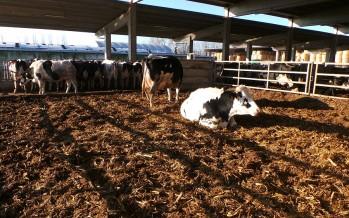 Parto vacca da latte: i dieci comandamenti per i fatidici 42 giorni della transizione