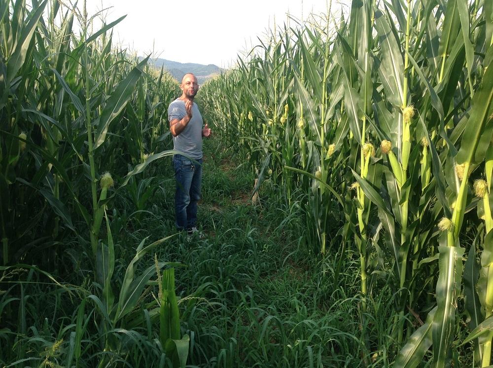 Filippo Lascialfari, direttore della Fattoria di Corte, davanti alle piante di mais seminate su strip-till su un appezzamento-prova di 4 ettari.