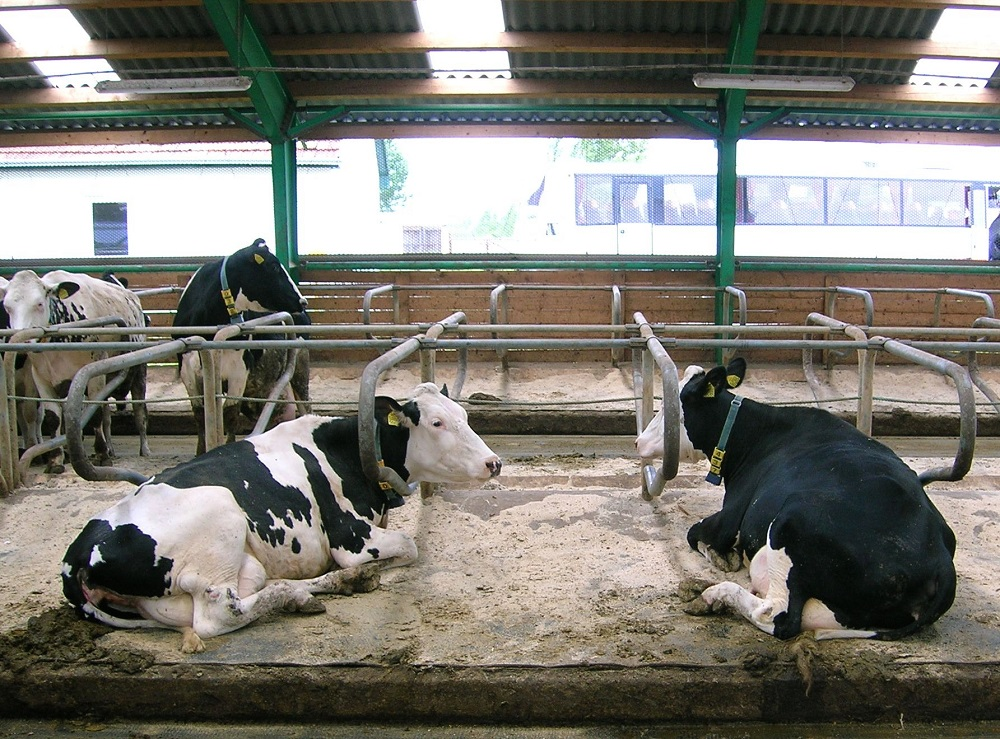 La nuova razione, che prevede l'uso esclusivo di foraggi aziendali di alta qualità, nella maggior parte dei casi fa aumentare il benessere delle vacche e anche la loro fertilità.