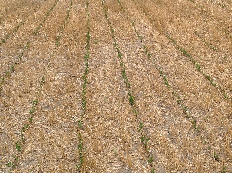 Emergenza della soia seminata su sodo, cioè direttamente sui residui colturali dell'orzo. Nonostante la siccità, il risultato è ottimo.