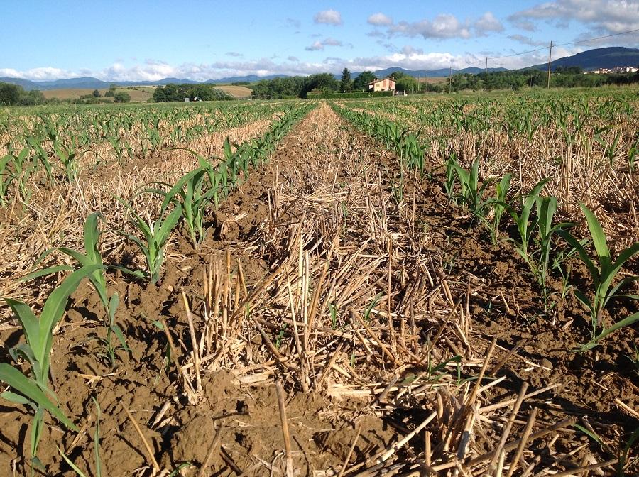 Una splendida emergenza del mais seminato su strip tiller. Come si nota, il terreno è lavorato solo dove vegeta il mais, mentre nell'interfila rimane intatto il residuo colturale a beneficio della fertilità fisica del suolo e del tasso di sostanza organica.