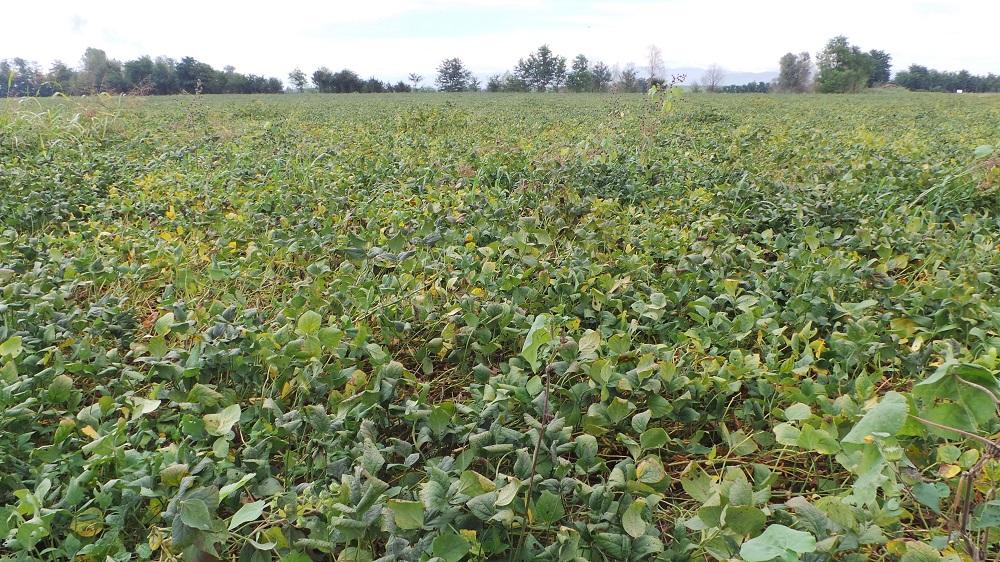 Anche la soia, oltre al mais, dimostra di beneficiare della subirrigazione.