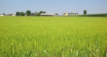 PSR Piemonte: da 125 a 300 euro/ettaro a favore della biodiversità in risaia