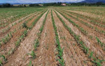 Il mais nel Pag dell'Azienda Frescobaldi: già al primo anno lo strip-till è un successo