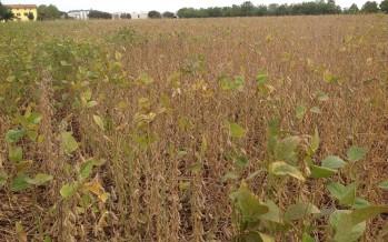 PAG Rossi: la soia su minima lavorazione verso i 50 quintali per ettaro