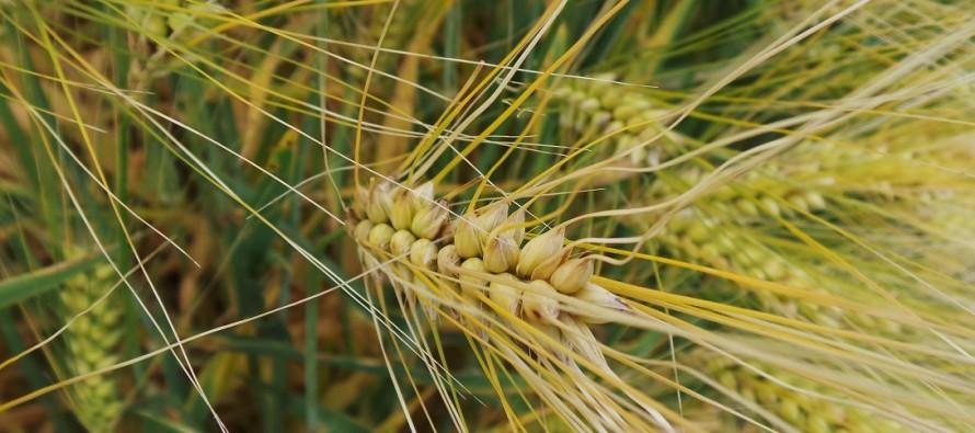 Frumento: solo se si semina presto vale la pena spendere per la concia insetticida