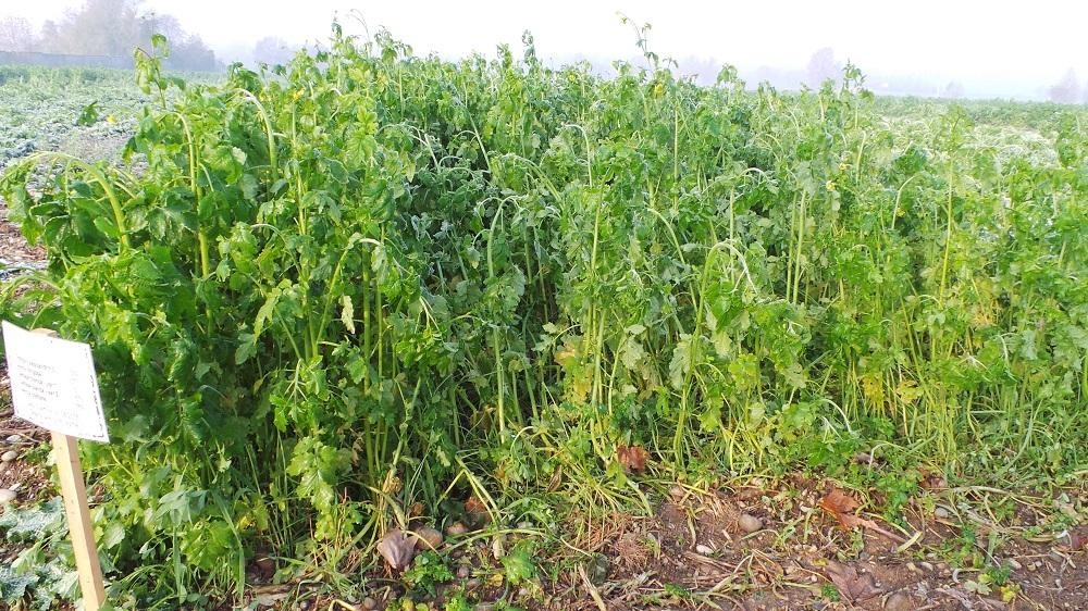 Miscuglio di Trifoglio alessandrino, avena strigosa, due specie di senape e veccia comune, seminato il 27 agosto a 80 kg/ha.