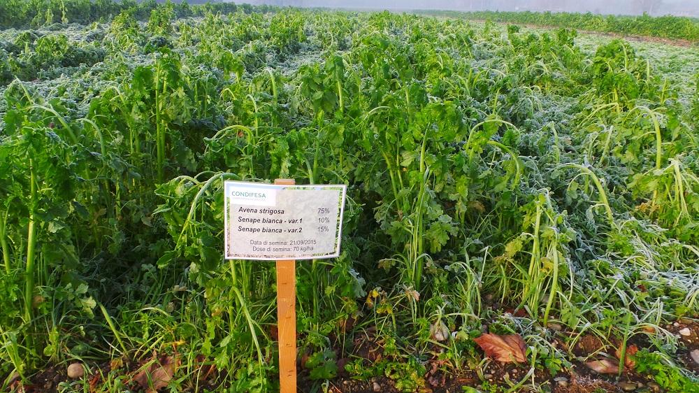 Miscuglio di Avena strigosa e due varietà di senape bianca, seminato il 21 settembre a 70 kh/ha.