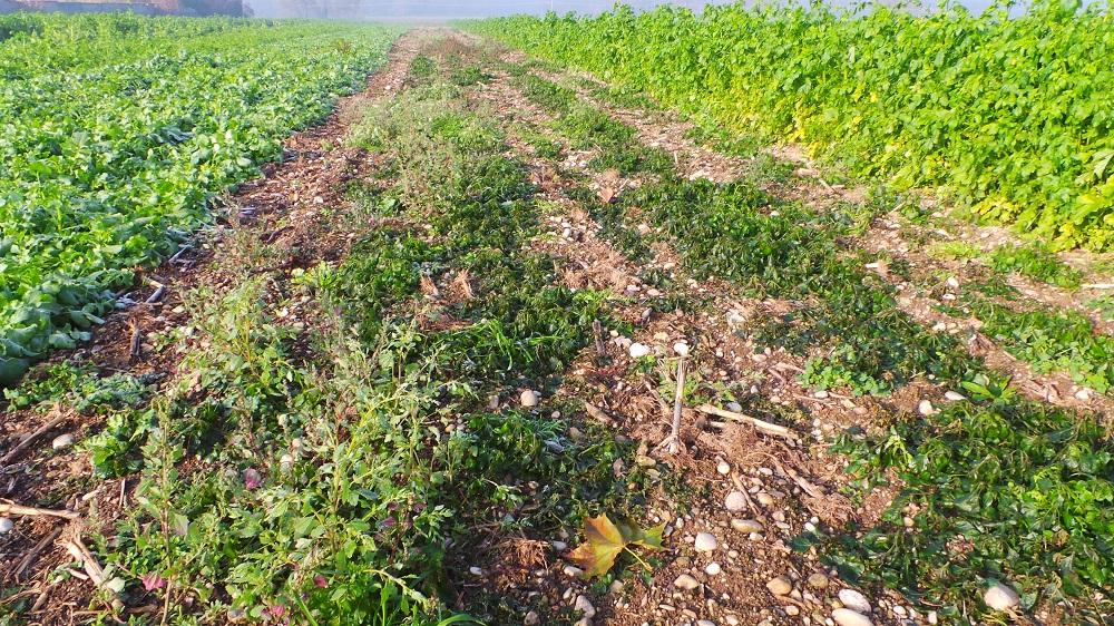 Al centro una fetta di terreno test, cioè dove non si sono seminate le cover crops. Come si vede, sono presenti solo infestanti e il terreno è molto meno coperto rispetto ai lati dove sono presenti le cover.