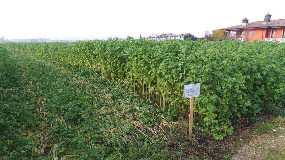 Miscuglio di Senape bianca e Trifoglio alessandrino, seminato il 2 settembre a 18 kg/ha.
