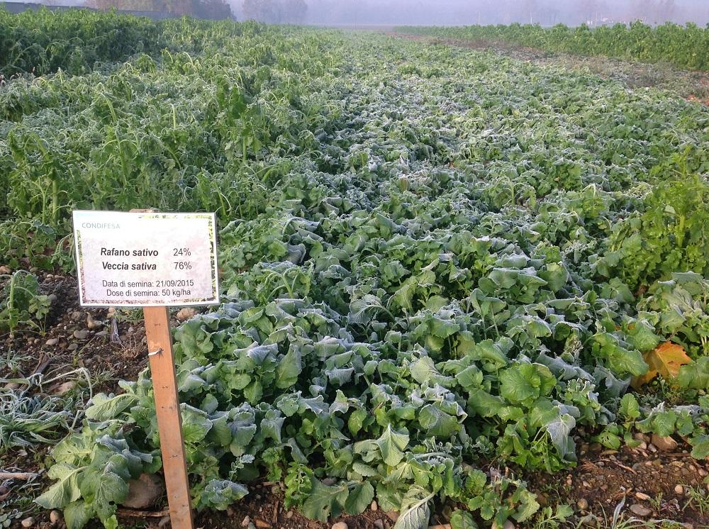 Miscuglio di Rafano sativo e Veccia sativa, seminato il 21 settembre a 50 kg/ha.