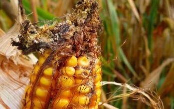 Dalla lotta biologica tra buoni e cattivi, la nuova frontiera per prevenire le aflatossine del mais
