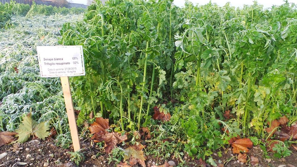 Cosa sono le cover crops - Senape e trofoglio