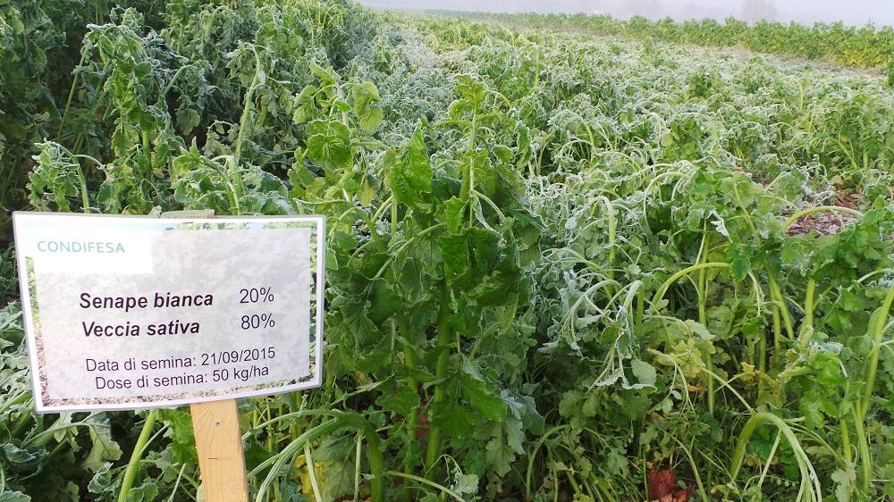 Cosa sono le cover crops - Senape Bianca e Veccia Sativa