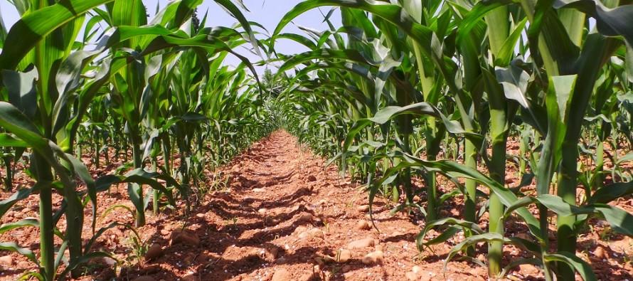 Il mais può aumentare la sua redditività, ma occorre abbandonare le consuetudini