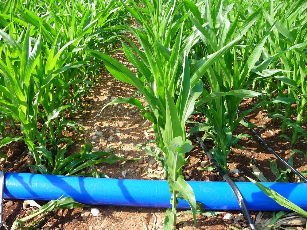 L'ala gocciolante stesa in superficie costituisce un sistema innovativo e vincente per l'irrigazione del mais. In alternativa c'è la posa interrata della microirrigazione.
