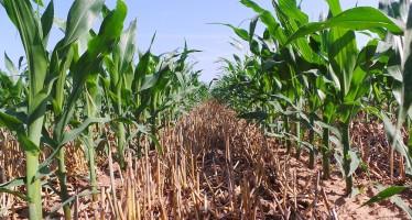 Sodo, interramento liquami e PSR: come cambia la redditività della coltura del mais
