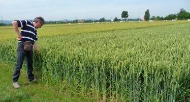 Registrate quattro nuove formulazioni per il diserbo dei cereali in post emergenza