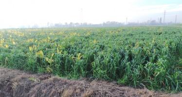Nuovi PSR: quanto si può incassare in più se si coltivano le cover crops estive o invernali