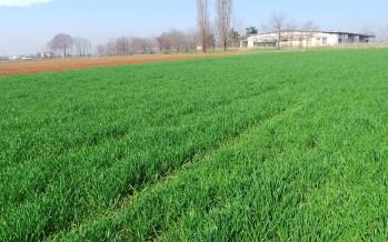 Come concimare il frumento all'uscita dell'inverno: i consigli agronomici giusti, senza eccedere nei costi