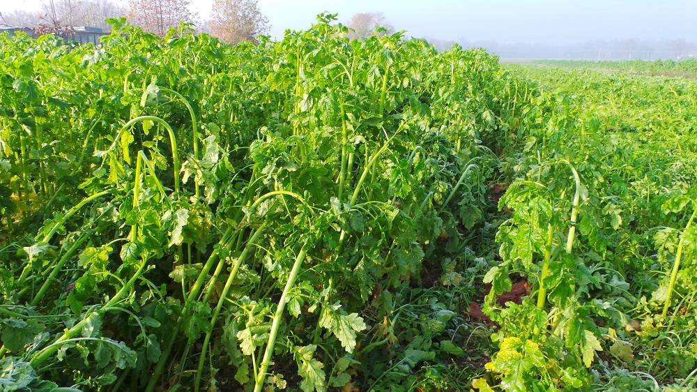 Lo straordinario sviluppo della senape a fine novembre 2015.