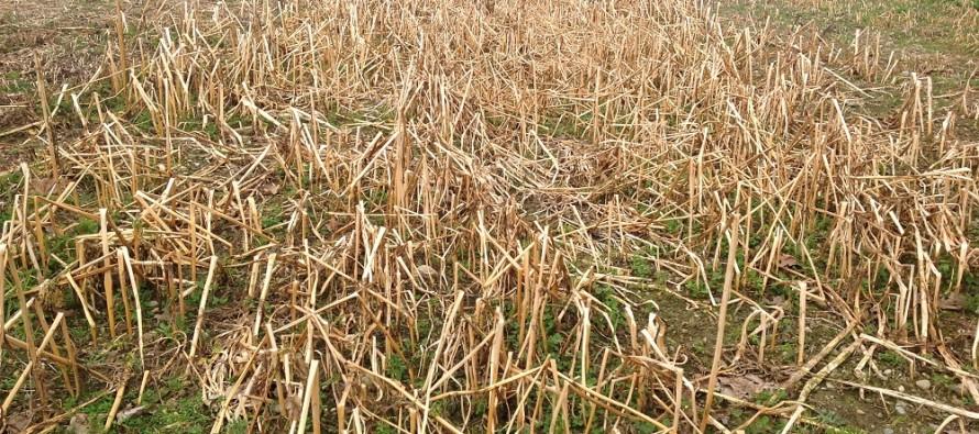 Cover crops gelive seminate a settembre: ecco come si presentano in campo a fine febbraio
