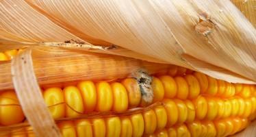 Mais: i consigli agronomici per limitare lo sviluppo delle aflatossine nella granella