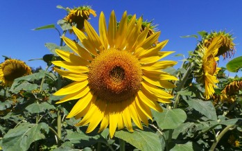 Il girasole è una coltura che può dare reddito, perché il mercato è in forte crescita