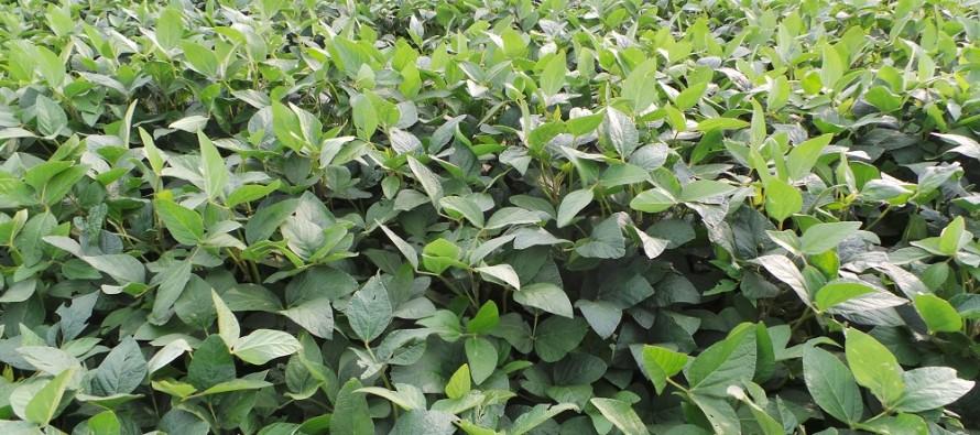 Non dimentichiamo la soia nel piano colturale 2016, ma attenzione a scegliere bene il percorso agronomico